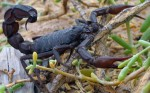 Black_scorpion Wikimedia Commons